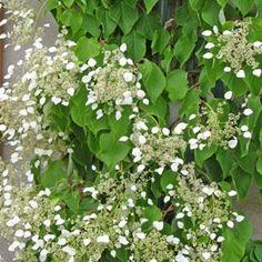 Arbuste sarmenteux à floraison estivale.