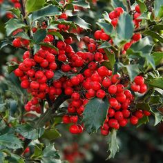 Have a holly, jolly Christmas! (Featured: Berri-Magic® Royalty Holly Combination . . .  #monroviaplants #monrovianursery #GrowBeautifully #Holly #hollybush #MerryChristmas #Christmas #gardenlovers #lovegardening #gardening #garden #nature #gardenlifestyle #gardendesign #flowers #plants #blooms #plantvibes #landscape #Plantsofinstagram #Flowersofinstagram #GardenersofInstagram #instagardenlovers #Winter #WinterPlants #WinterGarden #Winterberries #WinterPrep