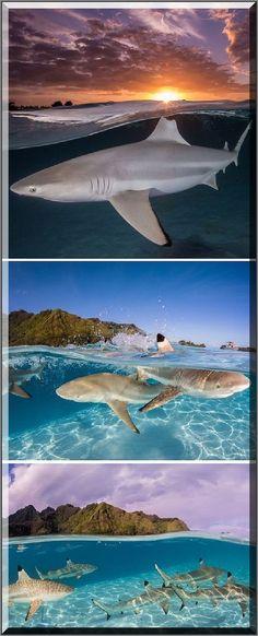 SHARKS - TAHITI - French Polynesia    #Photograph by Renee Capozzola  #shark ocean wildlife fish animal nature