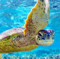 The Luigi of the turtles Save The Sea Turtles, Baby Sea Turtles, Wild Creatures, Ocean Creatures, Most Beautiful Animals, Beautiful Creatures, Hawaiian Sea Turtle, Ocean Turtle, Sea Turtle Wallpaper