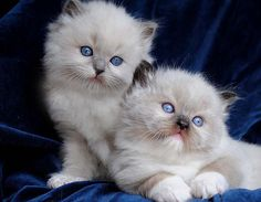 Ragdoll cats and kittens Photo Gallery. Ragdoll cat breeders in Ohio. Ragdoll Cat Breeders, Ragdoll Kittens For Sale, Munchkin Kitten, Cute Cats And Kittens, Ragdoll Cats, Adorable Kittens, Teacup Persian Cats, Cutest Kittens Ever, Oriental Cat