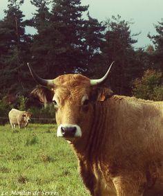 Vaches Aubrac (Haute-Loire) Photo : Le Moulin de Serres