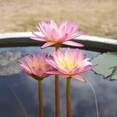 Nymphaea 'Tropic Sunset' Tropical Waterlilies | International Waterlily Collection #tropic sunset #Waterlilies #Tropical #Waterlily Collection #Nymphaea