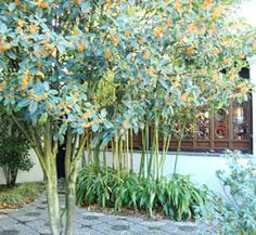 Orange Sweet Olive, Osmanthus Orange Supreme (Osmanthus fragrans var. aurantiacus); Jasmine/apricot strongly perfumed flowers in the warmer months. Popular street tree in Japan. Can be pruned to a standard or left as a tall shrub. Stronger perfume than the common cream flowered sweet olive.