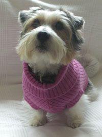 #puppy #dog #fashion #pink #jumper #cute #fluffy #jackrussell