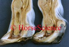 Foundered Hooves from the Hoof Images Photo CD http://www.hoofprints.com/Hoof-Images-Photo-CD/productinfo/HSCD/