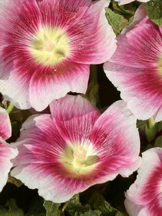 Hollyhock Halo Blush - tall 5',  mid summer to late summer