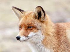 Mijn favo foto, het rugzak vosje uit de Amsterdamse Waterleiding duinen. Blijft toch een mooie ontmoeting vind ik.