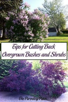 Are you a gardener with an overgrown shrub that you want to prune? These simple tips explain about properly cutting back overgrown bushes, a garden chore that is essential for maintain healthy and attractive plants and gardens. Pruning Shrubs, Bushes And Shrubs, Flowering Bushes, Perennial Bushes, Lilac Bushes, Succulents Garden, Garden Plants, Potager Garden, Garden Shrubs