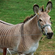 Zonkey - photo from shields.aaroads blog    ...link?...