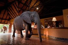Elephants march through hotel lobby after it was built on their migration trail!   The Mfuwe Lodge in  Zambia    happens to have been built next to a mango grove that one family of elephants have always visited when the fruit ripens. When they returned one year and found the luxury accommodation in the way, they simply walked through the lobby to reach their beloved grove of trees. Many of the hotel guests get to see the awesome sight each day!
