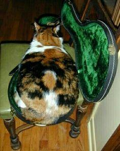 Fat cat in a mandolin case                                                                                                                                                                                 More