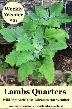 Lambs Quarters is a favorite wild food because it's easy to identify, harvest, and use. We'll share how to find it, use it and manage it in the garden. Diy Herb Garden, Easy Garden, Garden Fun, Garden Ideas, Gardening For Beginners, Gardening Tips, Vegetable Gardening, Edible Wild Plants, Wild Edibles