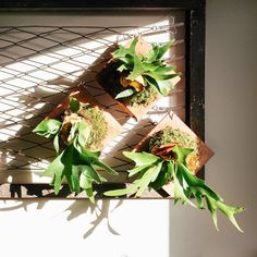 Staghorn ferns, soaking up these glorious winter rays . Come make one of these with us on Tuesday! Sign up (or just have us ship you one) at the link in profile.