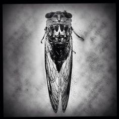 Hello, Cicada!
