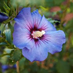 Top Flowering Shrubs for the South Hibiscus syriacus