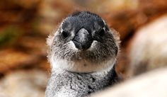 South Africa - Betty's Bay - Pinguin