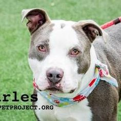 Pictures of Charles a senior male American Pit Bull Terrier for adoption at KC Pet Project, Kansas City, MO who needs a loving home.