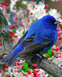 Indigo Bunting with apple blossoms #blue #bird