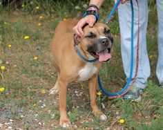 Sophia, 3-year-old Pit bull mix  Video Link: https://youtu.be/a4wloa6sNyg  Kids 5 or older  Sophia needs a family where someone is home most of the time. She doesn't like being alone and should be crated when she is.