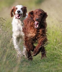 10 Cool Facts About Irish Setters