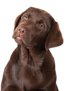 chocolate labrador cuteee