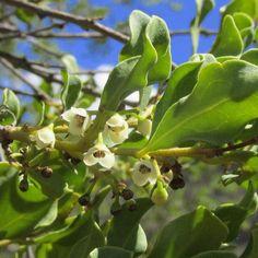 Euclea Undulata      Common Guarri      Gewoneghwarrie      S A no 601.1