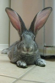 """Project 365: day 205: giant flemish ears"" by mbkepp on Flickr - Bunny Rabbit With Giant Flemish Ears"