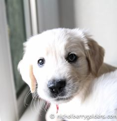 A Georgia/Roman pup:  Hello Cuteness! www.nicholberrygoldens.com English Golden Retriever Puppy, English Golden Retrievers, Retriever Puppies, Labrador Retriever, White Dogs, Old English, Roman, Georgia, Cute Animals