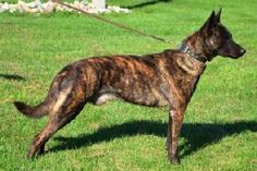 Dutch Shepherd Dog / Hollandse Herder