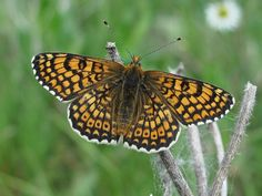 "The Glanville, another rare variant of the Fritillary. The final ""once a lifetime"" butterfly that Clegg refers to when he gets his van (page 16). These butterflies, rare like the Pale Clouded Yellow, portend Clegg's future human additions to his collection."