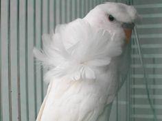 Japanese crested budgerigar (parakeet)
