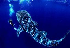 Whale shark diving in the Maldives. Whale sharks are slow-moving filter feeding shark and the largest fish species. I REALLY want to swim with one. Swimming With Whale Sharks, Shark Diving, Scuba Diving, Cave Diving, Fish Swimming, Shark Pictures, Funny Pictures, Wow Photo, Utila
