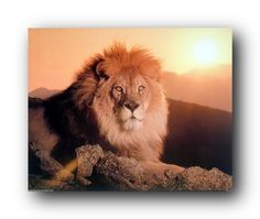 Absolutely wonderful! This wall poster will give a new definition to your living room. Through this wall poster, add some more colors and give a royal touch to your room. This poster captures the image of sitting king lion looking at something and beautiful sunset shown behind the lion is sure to catch lot of attention. It will be a perfect gift for every wild animal lover. So what are you waiting for order this wall poster for its superb quality and color accuracy.