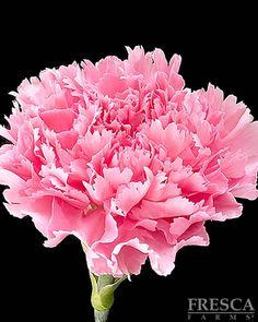 Pink Nora Carnation