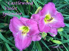 Castle Violet Splendor Daylily photo by HappyGoDaylily