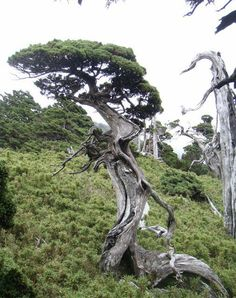 Another natural bonsai. It's not exactly cut from the same mold as the tree above, but there are some striking similarities.