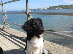 Stabyhoun Frisian Pointer #Dogs #Puppy