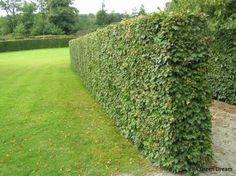 Avenbok eragreen Garden Hedges, Garden Fencing, Garden Landscaping, Garden Architecture, Plantation, Maze, Garden Projects, Stepping Stones, Outdoor Gardens