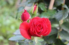 Rose / Róża