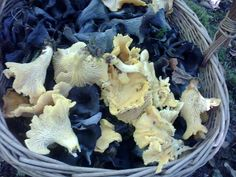 mixed basket of chanterelle and horn of plenty