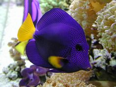 Purple Tang!!! Will def have one of these when we get a bigger tank.