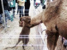 Kangaroo hugging a camel