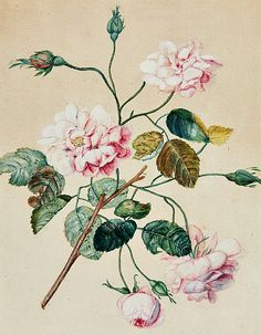 Unknown (German)  Rose  19th century