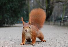 Ch 62.4 The red squirrel, as would have been seen by Argos, is native to Europe, but has largely been replaced by the North American grey squirrel. Love the placement of the hind leg and that tail!