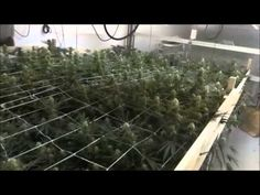 http://MarijuanaCashCrop.com/how-to-grow-marijuana/  Things are really coming along nicely as we move through the 4th week of flower over here at site M. Talking a little about some slight changes to the room as well as the addition of our canopy control system (i.e trellis netting). Thanks for watching!  YouTube Channel: http://www.youtube.com/Ma...