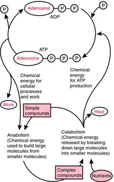 Looking for online definition of ATP/ADP cycle in the Medical Dictionary? What is ATP/ADP cycle? Meaning of ATP/ADP cycle medical term. What does ATP/ADP cycle mean? Burst Training, Medical Dictionary, Teaching Chemistry, Becoming A Nurse, Stress Tests, Cell Membrane, Ap Biology, Amor