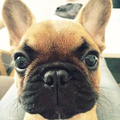 'Up Close & Personal', French Bulldog Puppy.