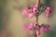Pink Heather Macro 4