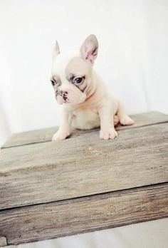Baby French bull dog